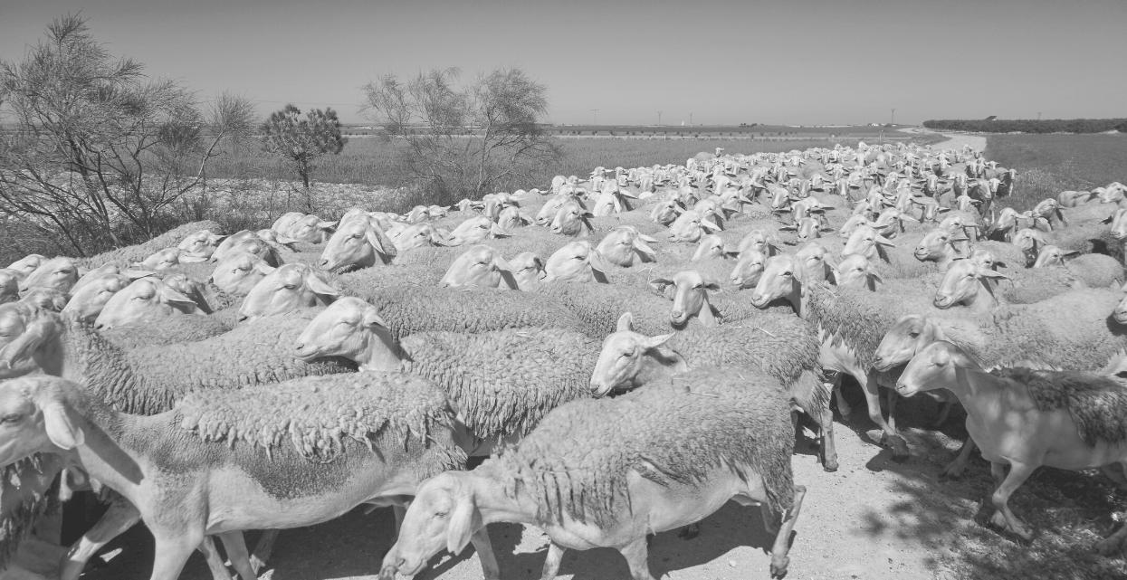 ovejas pastando para los mejores quesos de toledo